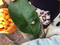 みかん畑のカタツムリ