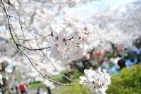 桜が咲いたので…
