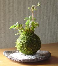 苔玉を作る①
