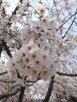 。☆゚桜゚☆。