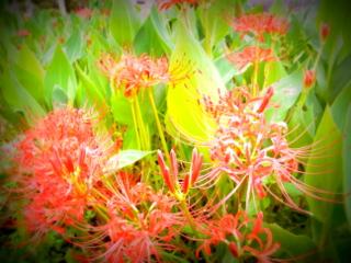 彼岸花と稲刈り