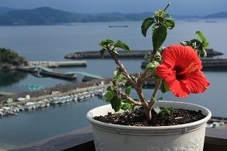 ハイビスカス~海が似合います(*^_^*)