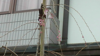 「しだれ桜」