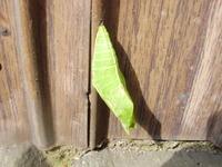 「蝶々~蛹から羽化へ(2)」
