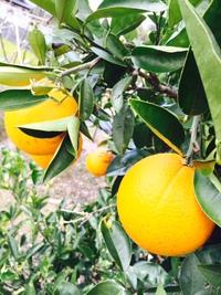 ネーブルオレンジの収穫♬