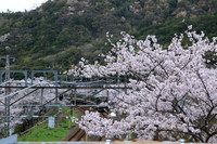 JR山中渓駅 桜