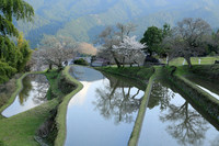 奈良お花見ツアー4 三多気の桜