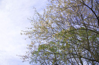 根来元気の森 ヒマラヤ桜