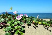 布引海岸 ハマヒルガオ