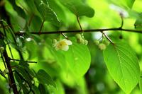 マタタビノ花と ホタルブクロ