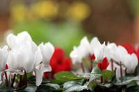 ともちゃんちのちっちゃなお庭の 赤、白、黄色