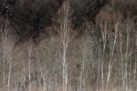 乗鞍レポート2 白樺の木