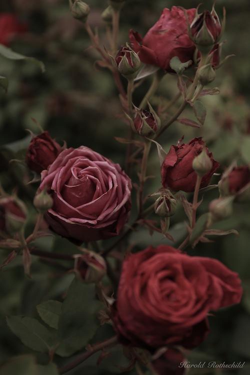 Old Velvet/言葉なき薔薇