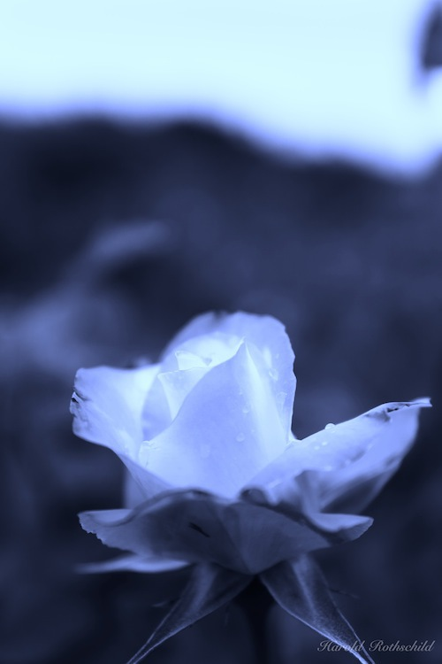 Innocence Road/月下の薔薇