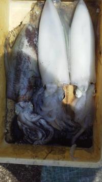 5月14日・・・アオリイカ釣れています