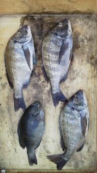 5月16日…釣り釣果(チヌ・グレ)