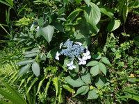 アジサイの花が!