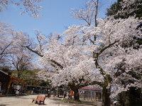 倉吉市の打吹公園でお花見をしました!