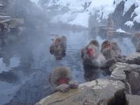 長野県・地獄谷露天風呂のお猿さんたち!