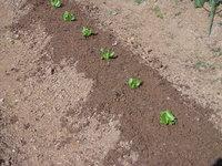 レタスの苗を植えました!