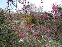 紅梅が咲いています!