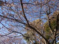 桜は2~3分咲きですね!