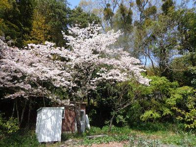 桜の花が、まだきれいです!