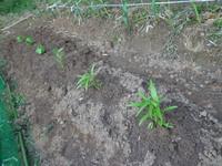 新しい苗を植えました!