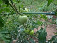 トマトのお話!