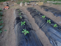 キャベツや白菜の苗を植えました!!