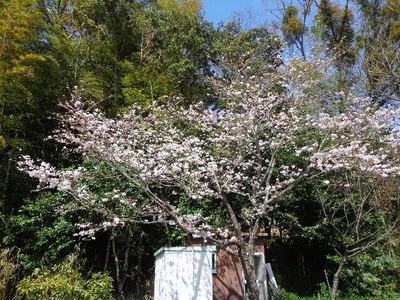 桜ほぼ満開です!!
