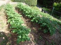 2月に植えたジャガイモの苗!