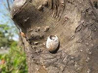 イラガ類の繭の痕跡