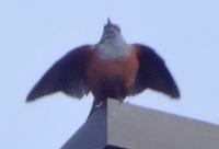 イソヒヨドリ♂の羽ばたき