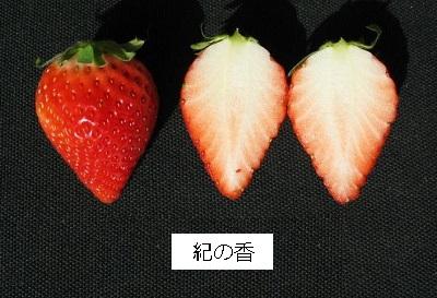 11月から収穫出来る極早生いちご新品種「紀の香(きのか)」を育成しました!!