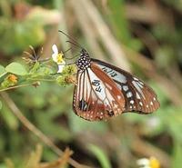 日高町から台湾まで飛んだ蝶