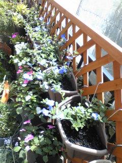 夏の花 アメリカンブルー