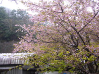 河津桜の今