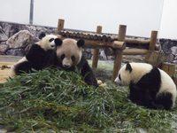 67 双子パンダ タケを食べはじめ独り立ち